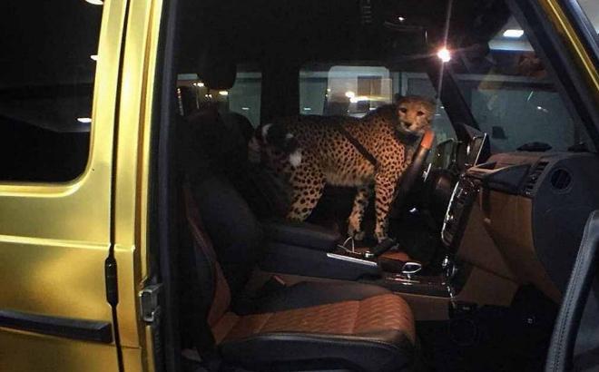 Un guepardo en el coche de Abdullah