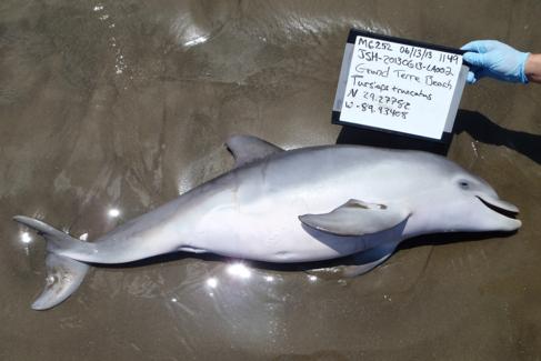 Uno de los delfines varados tras el vertido de BP.