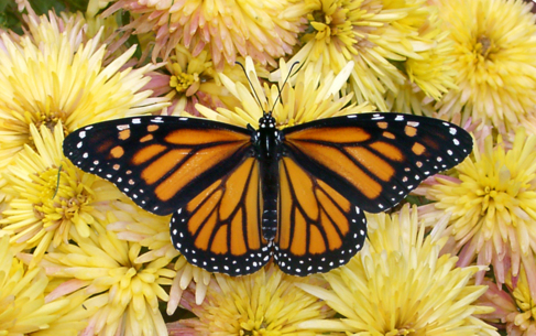 Aspecto de la mariposa monarca.