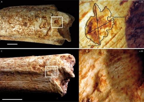 Marcas dentales en el fémur de un homínido de hace 500.000 años.