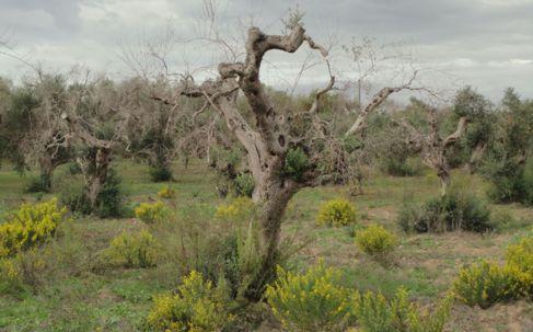 Olivos muertos por 'xylella fastidiosa' en la provincia de...