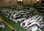 Tiburones a punto de ser subastados en la Lonja de Vigo (Archivo).