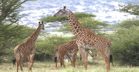 Grupo de jirafas Masai en el Ndarakwai West Kilimanjaro, Tanzania.