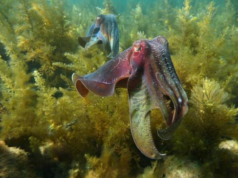 La gran sepia australiana ('Sepia apama') es la más grande...