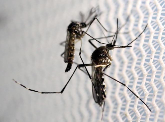 El mosquito 'Aedes aegypti', responsable de la transmisión de Zika.