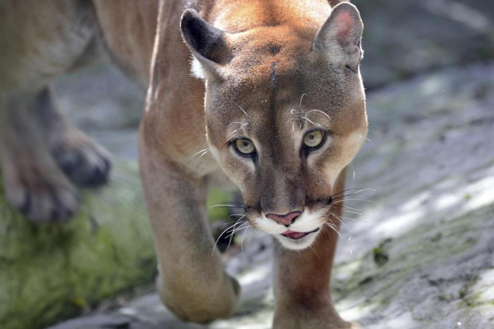 Puma entre sendas costarricenses.