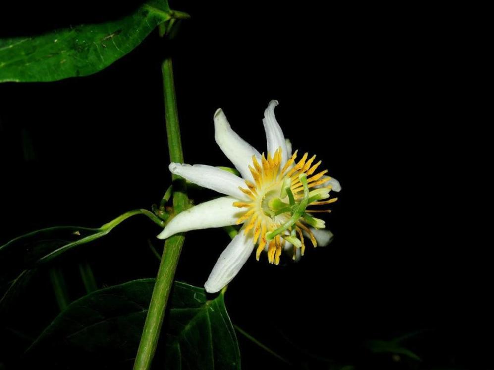 """""""Flor de la pasión"""" descubierta en las montañas de la vertiente del..."""