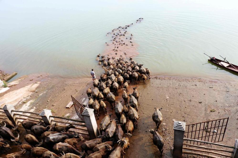 Manada de búfalos cruzando el río para dirigirse a la zona de...