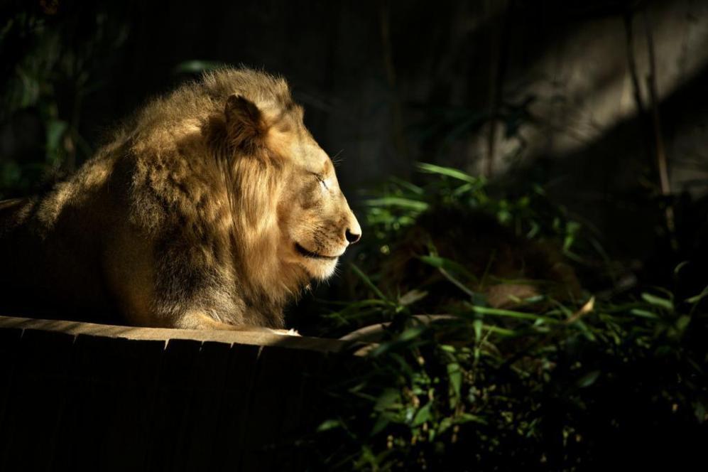 Un león descansa en uno de los recinto del Parque zoológico nacional...