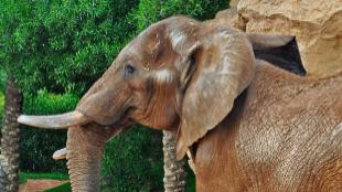 Elefante en un Biopark en 2013.