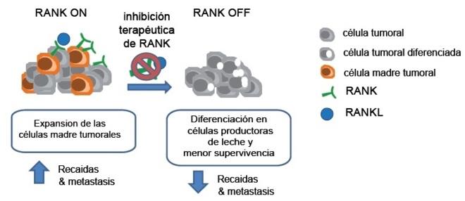 Los inhibidores de la proteína RANK pueden ser potencialmente útiles...