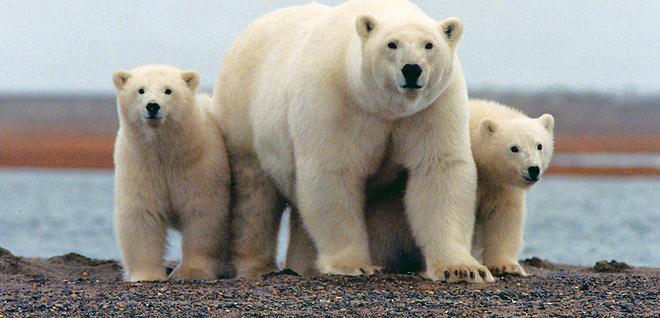 Cinco científicos rusos, 'rehenes' de 10 osos polares