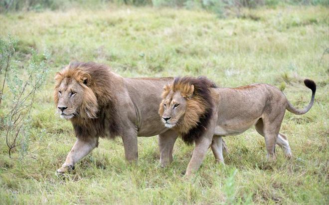¿Las leonas pueden tener melena? [Curiosidades] 14748759267361