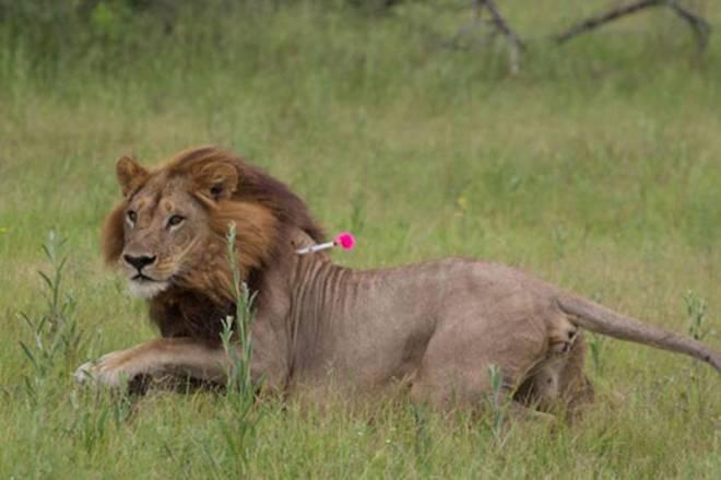 ¿Las leonas pueden tener melena? [Curiosidades] 14748759531935