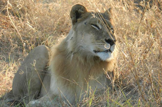 ¿Las leonas pueden tener melena? [Curiosidades] 14748760153820