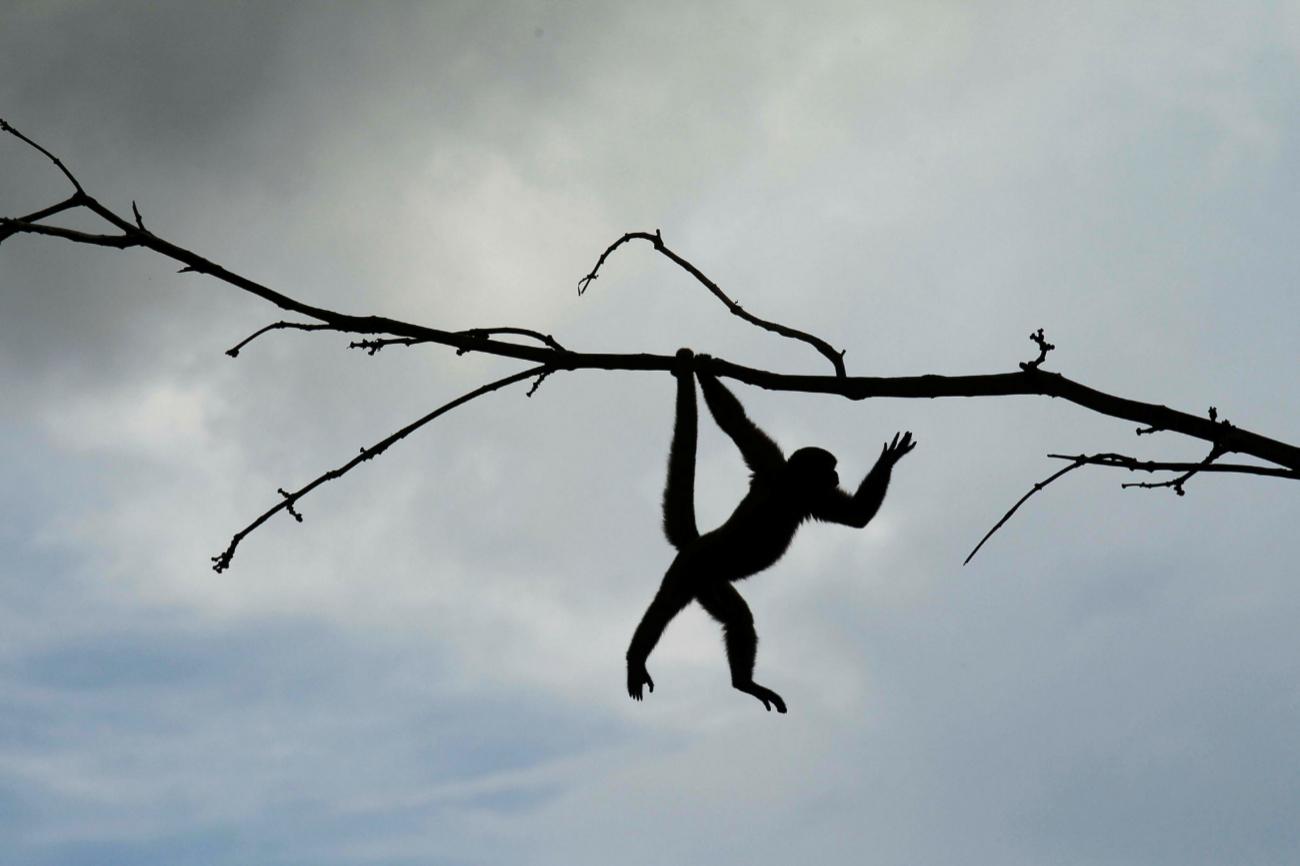 Un mono ardilla (Saimiri sciureus) en el Parque Natural de Nueva Loja.