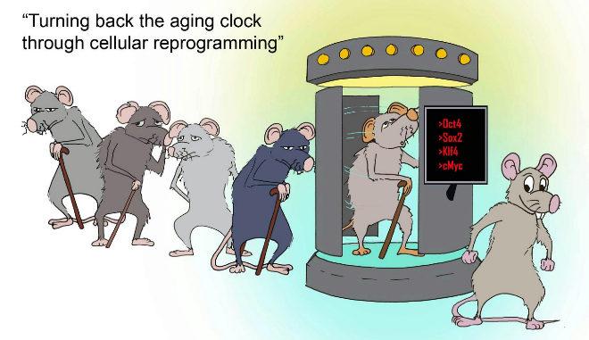 """""""Retroceder el reloj del envejecimiento a través de la reprogramación celular""""."""