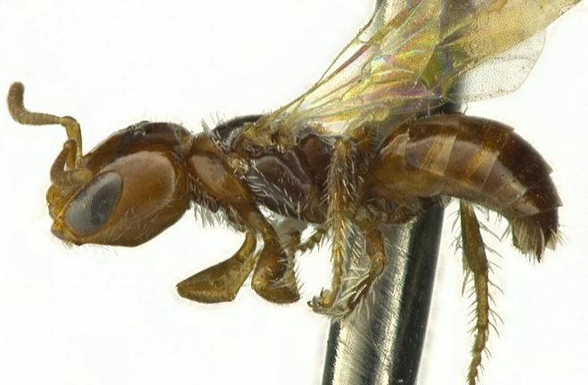 Una de las abejas de género 'Perdita' con apariencia de hormiga.