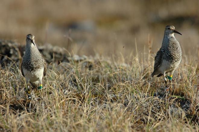Dos playeritos pectorales macho enuna disputa territorial en Alaska.