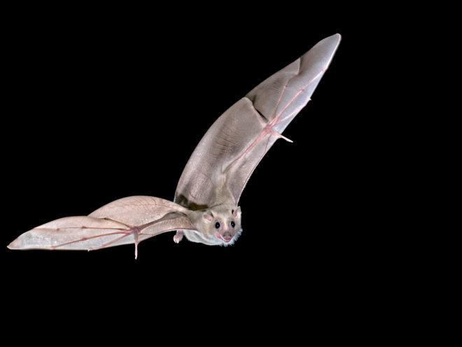 Imagen del murciélago egipcio de la fruta en pleno vuelo
