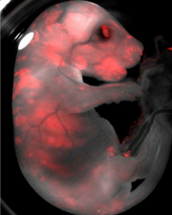 Imagen de un feto de quimera ratón-rata. El color rojo corresponde a las células de rata.