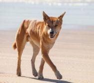 El dingo, presente en toda Australia.
