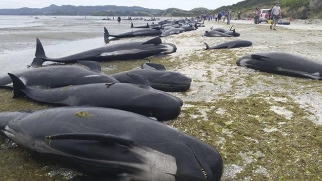 Encallan Unas 200 Ballenas Ms En Nueva Zelanda Pese A Esfuerzos De Los Voluntarios