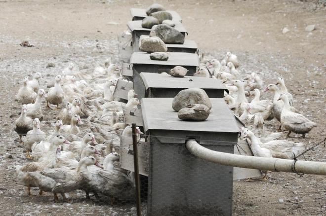 La Generalitat de Cataluña ha detectado un primer brote de gripe aviar en una granja de 17.300 patos de engorde en el municipio de Sant Gregori.