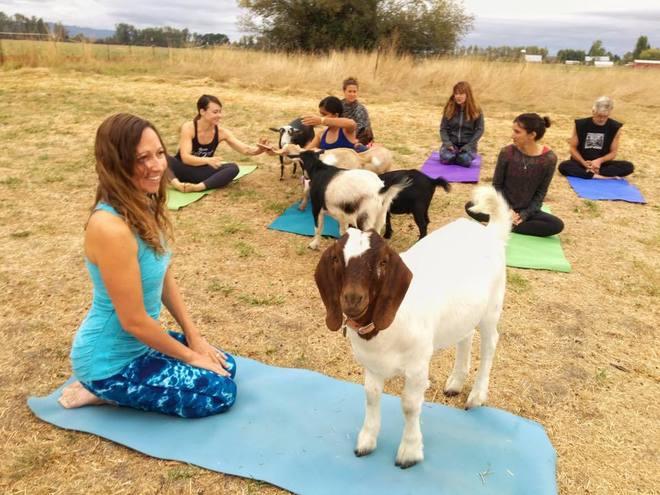 Imagen de una de estas clases del llamado 'goat yoga'.