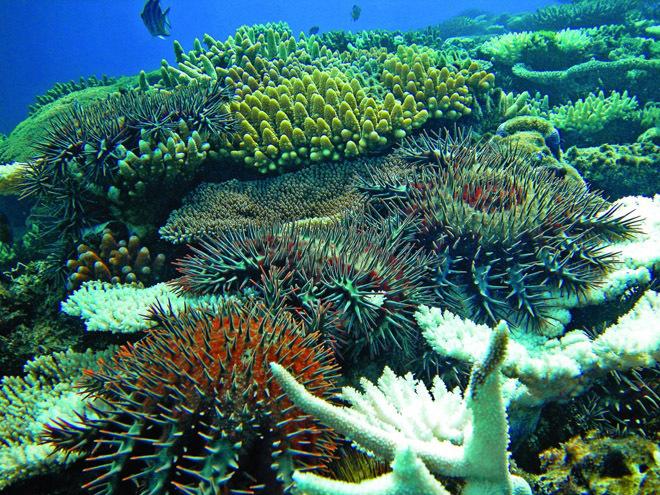 Acanthaster planci, una estrella de mar de grandes dimensiones que...