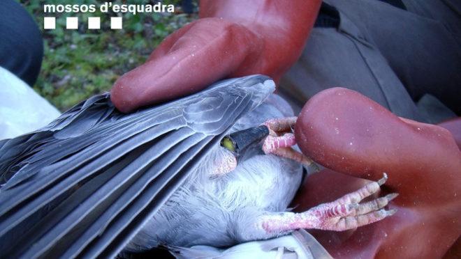 Condenados a prisión por usar palomas vivas con veneno como cebo para matar aves rapaces