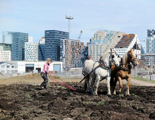 Dos caballos aran el terreno en la granja urbana Losaeter.