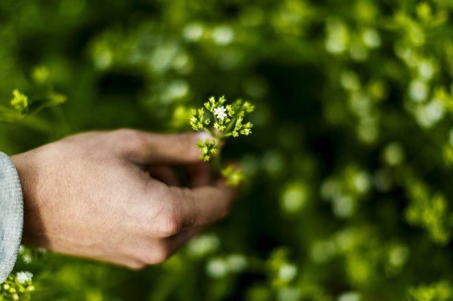 Luz verde a la comercialización de la hoja de 'stevia' , un