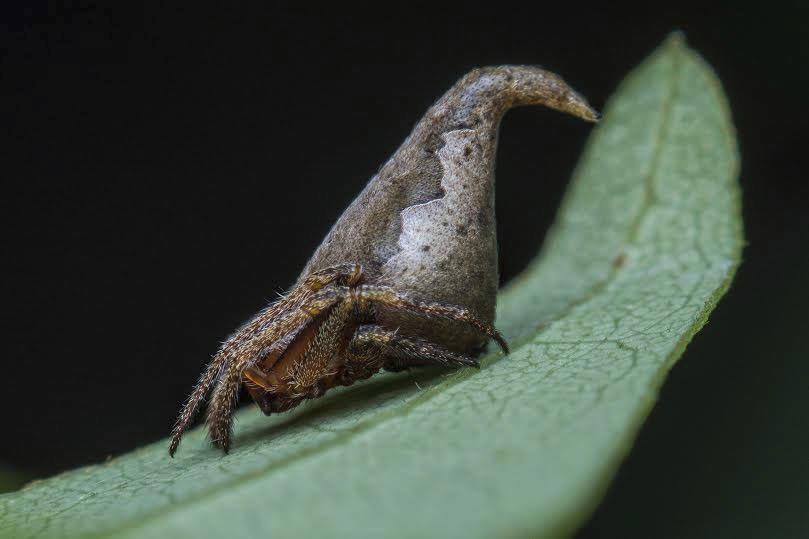 Una araña de menos de 2mm de largo descubierta en los Bosques Ghats...