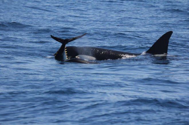 Una de las 59 orcas del Estrecho y golfo de Cádiz comiéndose un atún rojo.