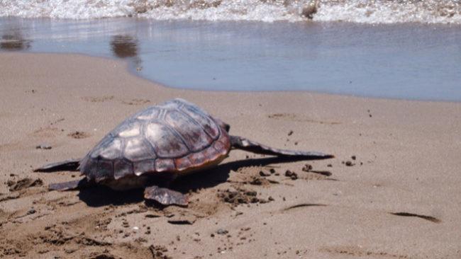 Una tortuga marina es liberada en la playa del Prat de Llobregat tras...