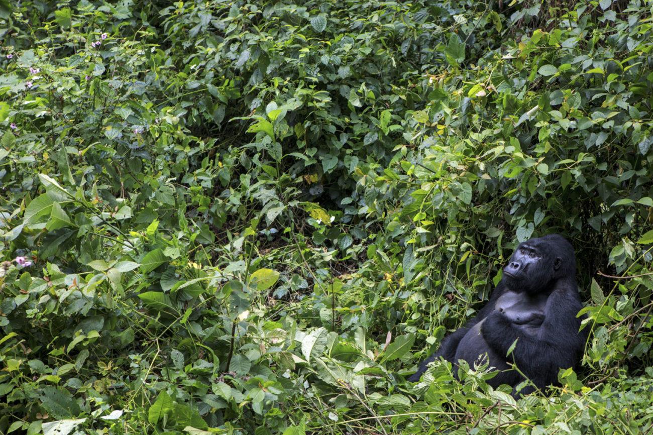 De los diez parques nacionales de Uganda, el Bosque Impenetrable de...