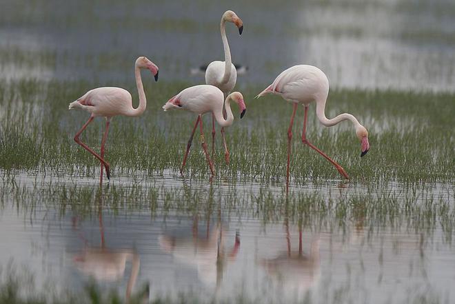 Un grupo de flamencos busca alimento entre el sedimento de una laguna...