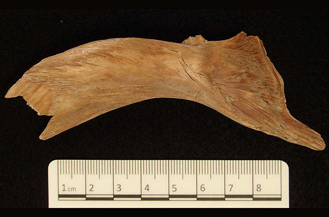 Huesos de bacalao antiguo empleado para el análisis de su ADN