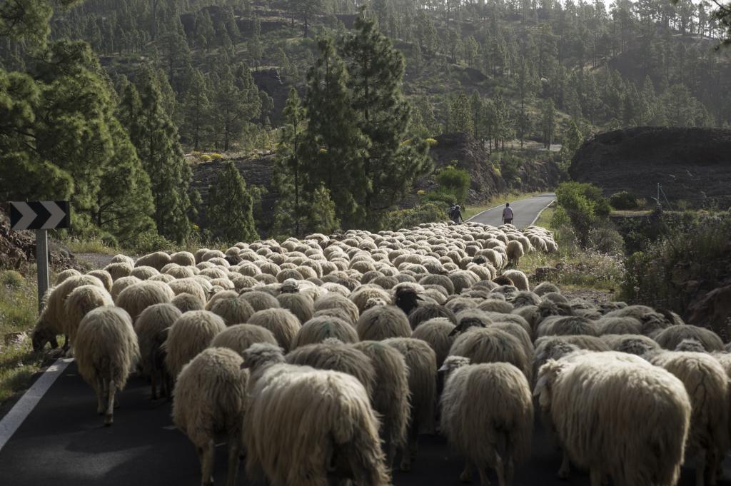 Los pastores guían un rebaño en el interior de Gran Canaria.