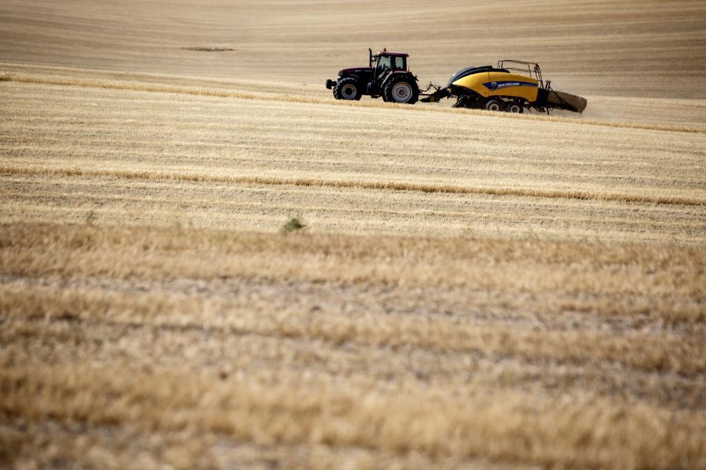 Cultivo de trigo en Segóbriga.