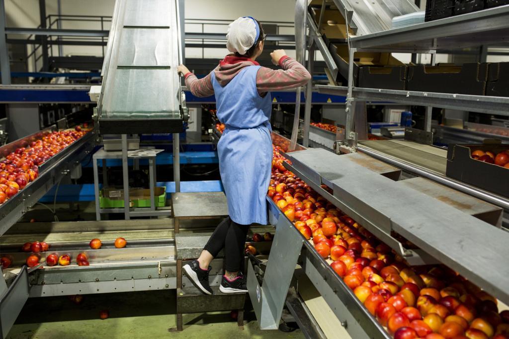 Trabajadoras de la factoría de Tanynature, en Zurbarán (Badajoz)....