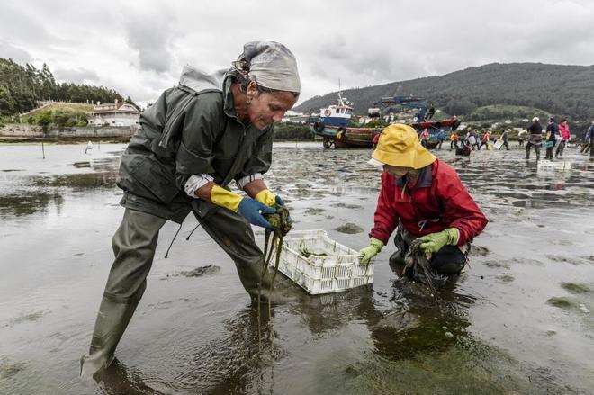 Las mariscadoras trabajan en la ría de Vigo.