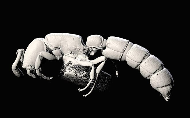 Una hormiga keniana llamada Obama