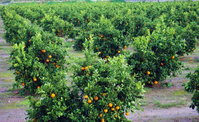 Cuatro millones de rboles frutales a punto de perecer en el almanzora almeriense por falta de - Mandarina home espana ...