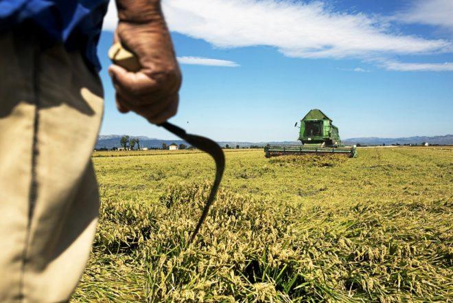 Un campesino observa, hoz en mano, cómo una máquina cosecha arroz en...