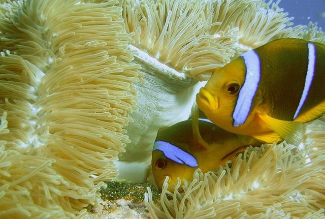 El pez 'Nemo', en peligro por el cambio climático