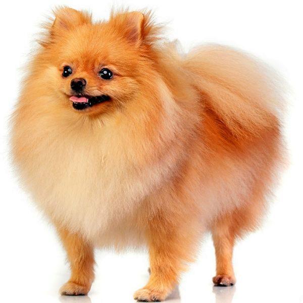 Las Mejores Razas De Perro Para La Gente Mayor Zen El Mundo