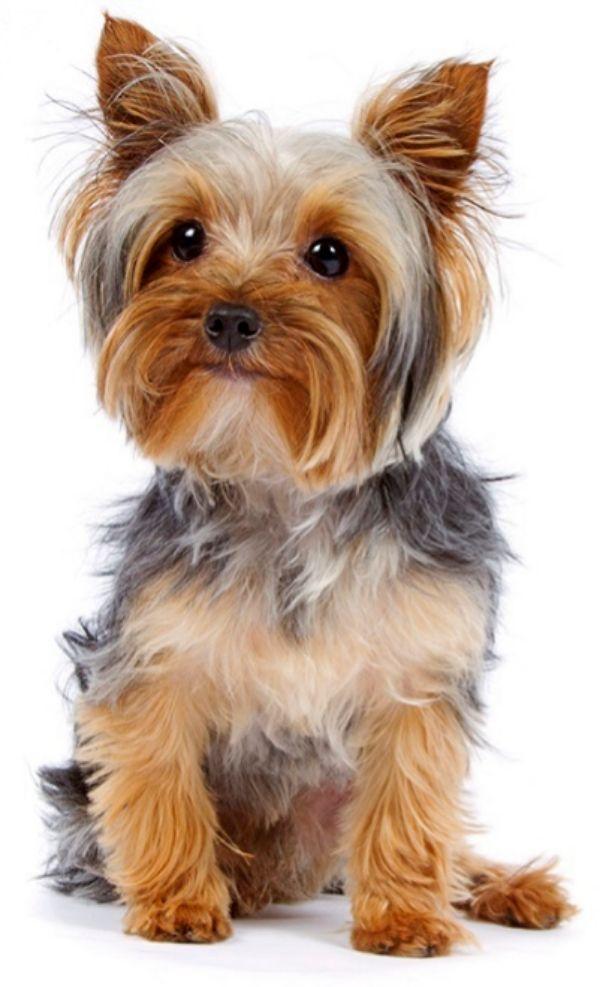 Las mejores razas de perro para la gente mayor