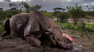 Un rinoceronte mutilado, foto de naturaleza del año